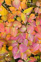 Viburnum carlesii in autumn fall foliage color
