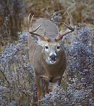 Whitetail buck lip curling in the fall rut in Montana
