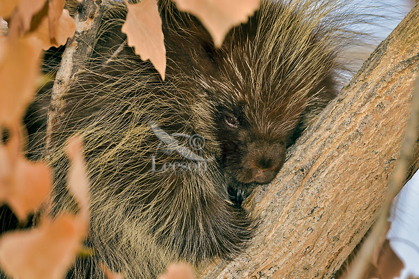 Young North American porcupine (Erethizon dorsatum)--also known as the Canadian porcupine or common porcupine--resting in tree.  Western U.S., late fall.