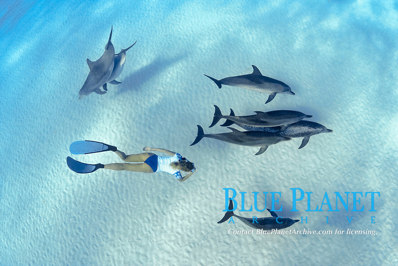 This freediver is swimming with Atlantic Bottlenose Dolphin, Tursiops truncatus, and Atlantic Spotted Dolphin, Stenella plagiodon. It is unusual for these species to intermix. The Bahamas Bank, Caribbean, Atlantic