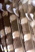 OW10-021b Saw-whet Owl - feathers close-up - Aegolius acadicus