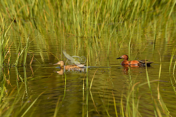Pair of Cinnamon Teal in marshy wetland, Timmerman Ranch, Oregon, June.