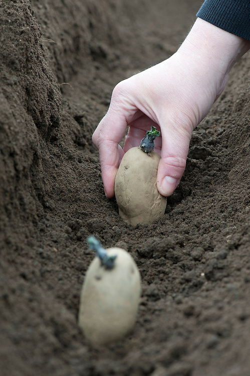Planting seed potatoes in a drill. Place the potatoes in a drill or trench with their chits uppermost.