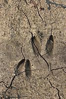 Reh, Rehwild, Spur, Trittsiegel, Fußabdruck, Capreolus capreolus, Roe deer, Chevreuil
