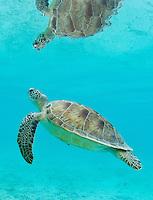 Green Sea Turtle<br /> St. John<br /> US Virgin Islands