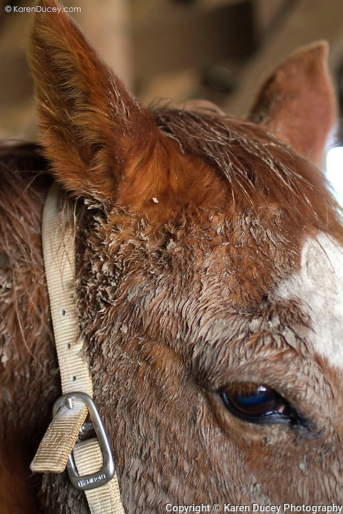 A quartermaster horse looks up from under a mud caked face in Oso, Wash. on April 1, 2014. Vets and volunteers help out on Summer Raffo's property in Oso, Washington providing 16 horses with basic veterinary care, grooming and fresh hay.