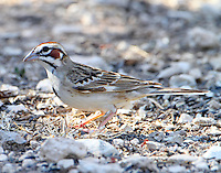 Adult lark sparrow