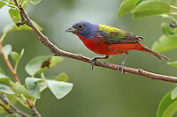 "The painted Bunting male is unmistakable with its red chest, blue head, and green back. Will be published in the upcoming issue of Astronomy Magazine, in their ""How to Buy Your First Telescope"" article."