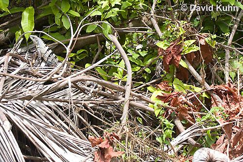 0626-1115  Camouflaged Black Spiny-tailed Iguana (Black Iguana, Black Ctenosaur), On Half-moon Caye in Belize, Ctenosaura similis  © David Kuhn/Dwight Kuhn Photography