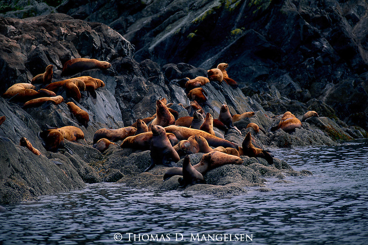 A group of sea lions sun themselves on a rocky island in the Frederick Sound in Alaska.