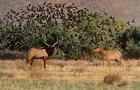 628850070 a wild female or cow and male or bull with full antler rack tule elk cervus nannodes forage in a field surrounded by a flight of red-winged blackbirds agelaius phoenicius in inyo county california