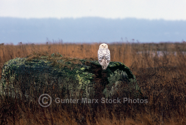 Snowy Owl (Bubo scandiacus) Female or Juvenile, sitting on Log at Boundary Bay Regional Park, Delta, BC, British Columbia, Canada - aka Arctic Owl, Great White Owl or Harfang. Note Owl Head rotated 180 degrees.