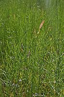 Sumpf-Schachtelhalm, Sumpfschachtelhalm, Sumpf - Schachtelhalm, Duwok, Equisetum palustre, Marsh Horsetail, Prêle des marais