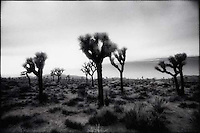 Silhouetted Joshua Trees<br />