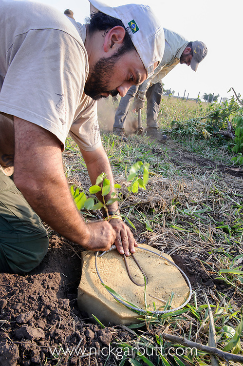 Setting a specially designed jaguar snare trap, the design of which has been perfected to cause zero harm to the jaguar. Caiman Lodge, Oncafari Project, southern Pantanal, Mato Grosso do Sul, Brazil.