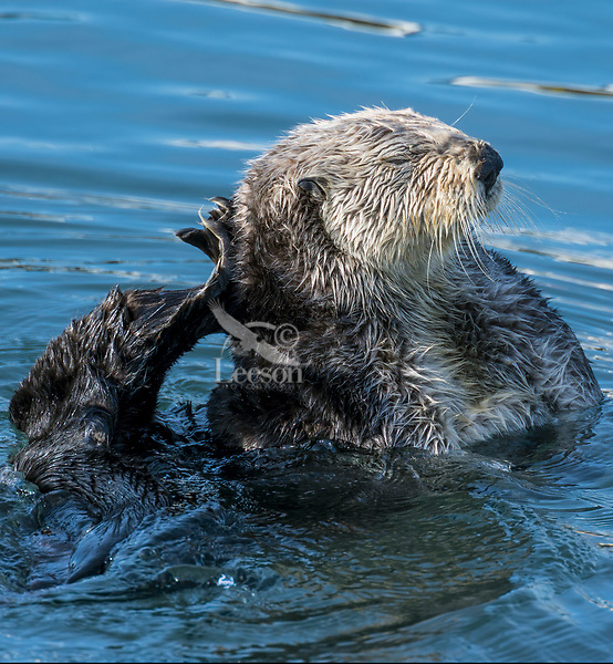 Sea Otter (Enhydra lutris) grooming. California coast.