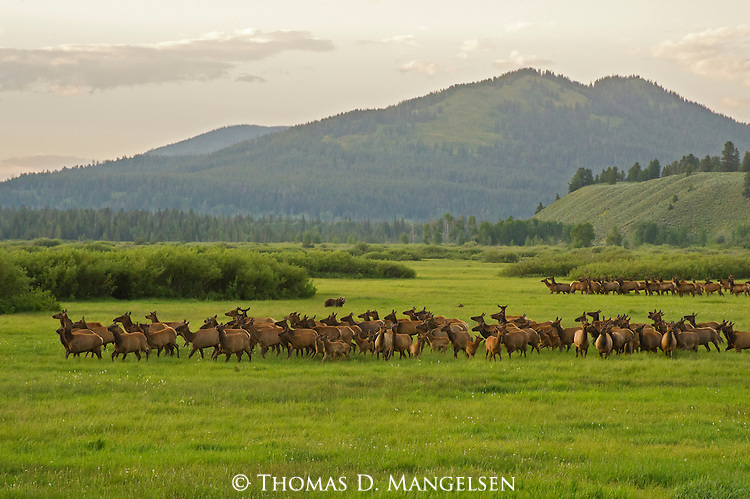 As the sun sets over the Grand Tetons washing Willow Flats in golden light, grizzly 610 and her two cubs split the resident herd of elk in Grand Teton National Park, Wyoming. This grizzly mother hunts for an elk calf to provide food for her family.