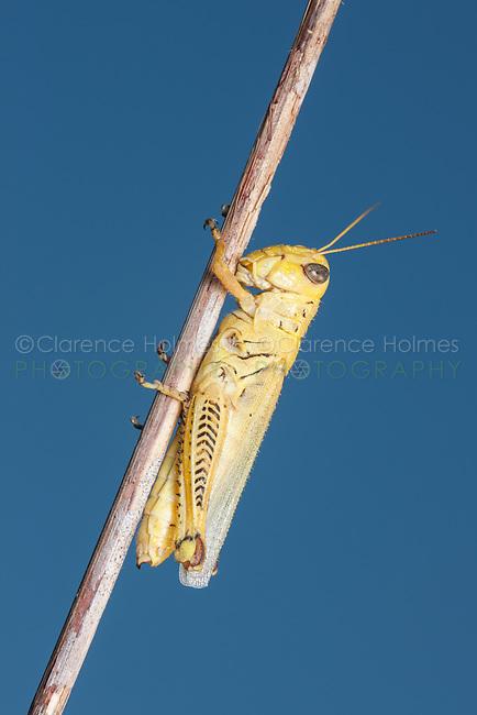 Differential Grasshopper (Melanoplus differentialis), yellow form female