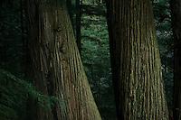 Redwoods in Northern California.