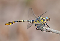 334250012 a wild male tamaulipan clubtail dragonfly gomphus gonzalezi perches on a dead stick near the naba site along the rio grande river hidalgo county texas united states