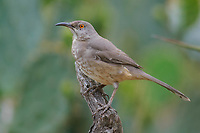 Adult Curve-billed Thrasher (Toxostoma curvirostre) of the Eastern T. c. curvirostre subspecies group. Hidalgo County, Texas. March.