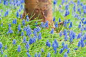 Grape hyacinths (Muscari) at the foot of a paper-bark maple tree (Acer grisum), early April.