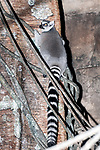 Ring-tailed Lemur climbing on vines and tree, vertical