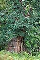 A veteran English Oak tree {Quercus robur}, Derbyshire, UK. September.