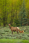 An elk calf stands with its mother in Grand Teton National Park, Wyoming.