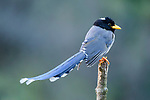 Adult yellow-billed blue magpie (Urocissa falvirostris). Mid montane forest, Himalayan foothills, Singalila National Park, India.