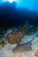 Japanese angel shark, Squatina japonica, Izu ocean park, Sagami bay, Izu peninsula, Shizuoka, Japan, Pacific Ocean
