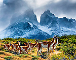 Guanaco's at Torres Del Paine National Park, Chile Patagonia
