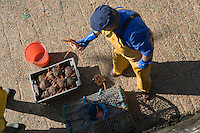Europe/France/Bretagne/56/Morbihan/Belle-Ile/ Sauzon: Au port de pêche ,retour de la pêche aux araignées de mer