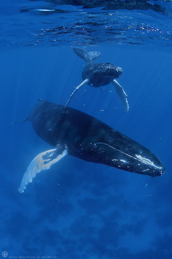 Humpback Whale with Calf
