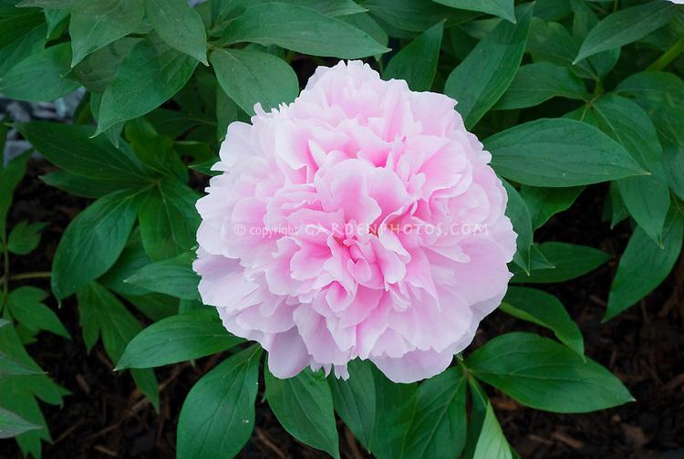 Paeonia 'Bandit' pink double peony