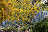 Parkinsonia 'Desert Museum'  hybrid Palo Verde, yellow flowering drought tolerant tree, with Century Plant, Agave in dry garden at Los Angeles Natural History Museum