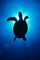 Turtle Silhouette<br /> U.S. Virgin Islands