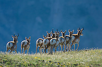 Pronghorn Antelope (Antiloapra americana) herd--mostly bucks and yearlings without fawns.  Western U.S., June.