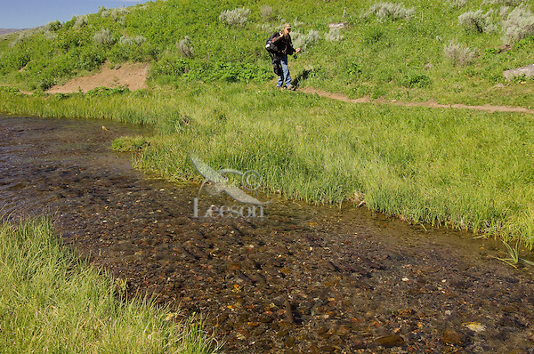 School of Cutthroat Trout (Oncorhynchus clarkii) moving into mouth of small spawning stream.  Montana-Wyoming area.  June.  This spawning stream is closed to fishing, though the lake it drains into is open to fishermen.