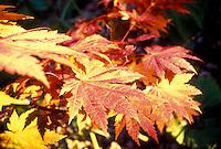 Acer japonicum 'Aconitifolium' maple tree leaves in fall color