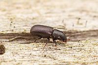 Snout Beetle (Stenoscelis brevis)