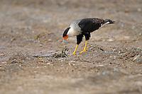The Crested Caracara (Caracara cheriway) Looking for food.