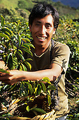 Chirinos, Peru. Fair trade partner coffee grower, co-operative supplier of Cafe Direct, picking coffee.