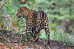 Male jaguar (Panthera onca) on the river bank. Cuiaba River, Northern Pantanal, Mato Grosso, Brazil.