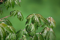 Red Maple (Acer rubrum), buds opening, time lapse, series, Texas, USA