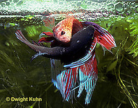 BY05-202z  Siamese Fighting Fish - male mating with egg laden female - Betta splendens