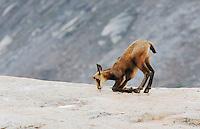 Chamois (Rupicapra rupicapra), young licking minerals, Grimsel, Bern, Switzerland, Europe