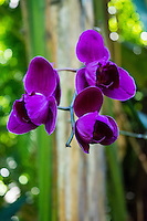 A close-up of deep purple orchids at Hawaii Tropical Botanical Garden, Papa'ikou, Big Island of Hawaiʻi.