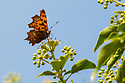 Comma {Polygonia c-album} feeding on ivy {Hedera helix}. Peak District National Park, Derbyshire, UK. October.