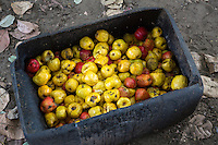 Fermenting Cashew Apples Ready to be Pressed for Juice, near Sokone, Senegal
